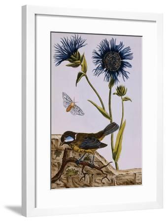 18th Century French Print of Cornflower-Stapleton Collection-Framed Giclee Print