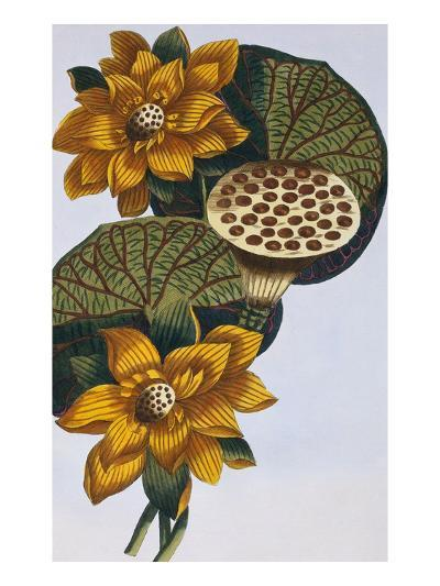 18th Century French Print of Waterlily-Stapleton Collection-Giclee Print