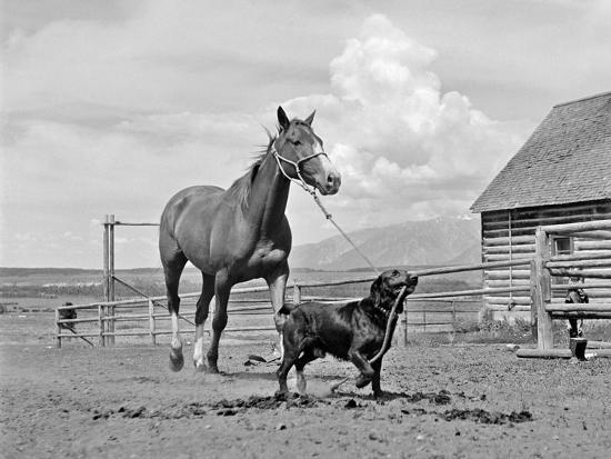 1950s-1960s Black Dog Leading Horse by Holding Rope Halter in His Mouth--Photographic Print