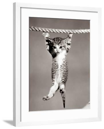 1950s Little Kitten Hanging from Rope Looking at Camera--Framed Photographic Print