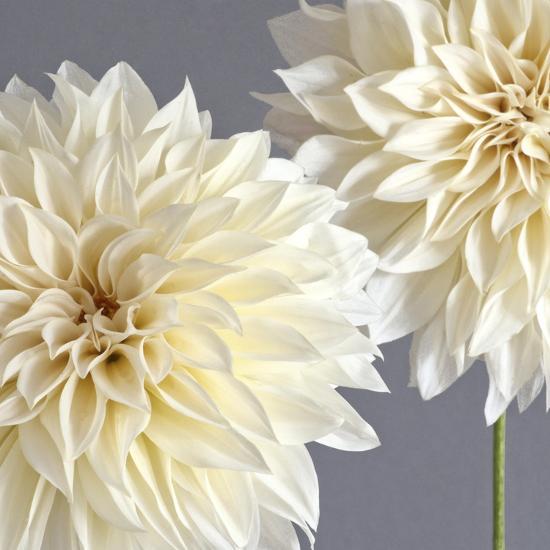 2 Cream Dahlias on Gray-Tom Quartermaine-Giclee Print