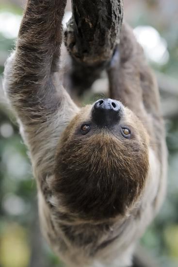 2 Finger Sloth, Choloepus Didactylus, Branch, Hang, Climb Headlong-Ronald Wittek-Photographic Print