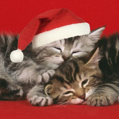 2 Kittens One Sleeping Wearing Christmas Hats--Photographic Print