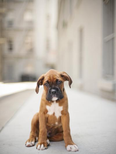 2 Month Old Boxer Puppy Standing in Alley-Diyosa Carter-Photographic Print