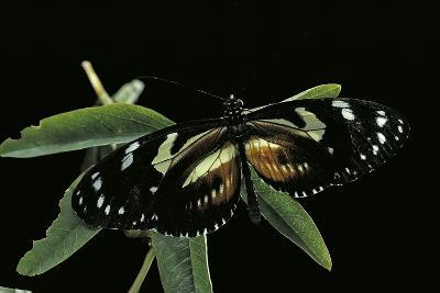 3/4 Heliconius Atthis X 1/4 Heliconius Hecale (Longwing Butterfly)-Paul Starosta-Photographic Print