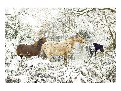 3 Horses & Snow Covered Trees--Art Print