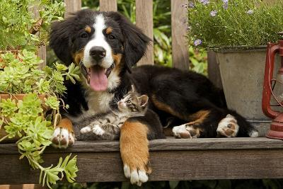 3 Month Old Bernese Mountain Dog Puppy On--Photographic Print
