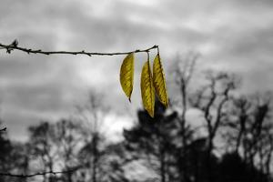 3 Yellow Leaves