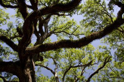 https://imgc.artprintimages.com/img/print/300-year-old-oak-tree-vacherie-new-orleans-louisiana-usa_u-l-pn70o70.jpg?p=0