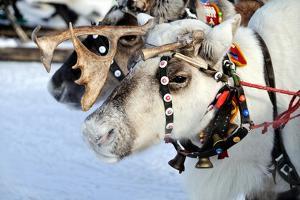 Reindeer by 3355m