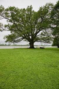 350 year old Willow-Oak of Shirley Plantation on the James River, Virginia