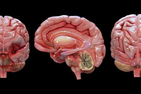 3D Rendering of Human Brain Art Print by Stocktrek Images | Art com