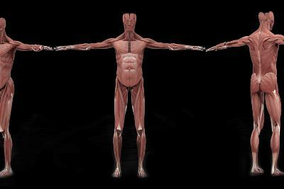 3D Rendering of Male Muscular System at Different Angles-Stocktrek Images-Art Print