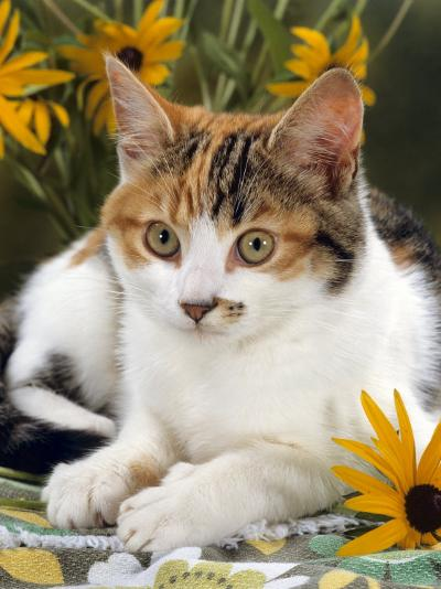 4-Months, Portrait of Tabby-Tortoiseshell-And-White Female Lying on Garden Table with Coneflowers-Jane Burton-Photographic Print
