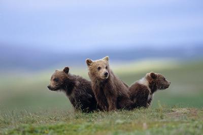 4 Young Brown Bear Cubs Huddled Together on Tundra Katmai National Park Southwest Alaska Summer-Design Pics Inc-Photographic Print