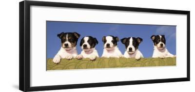 5 Jack Russell Puppies That were Abandoned on Christmas Eve, January 2001