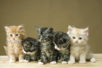5 Kittens Sitting Together in a Row--Photographic Print