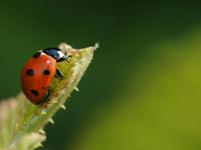 7-Spot Ladybird on Bramble Leaf, Middlesex, UK-Elliot Neep-Photographic Print
