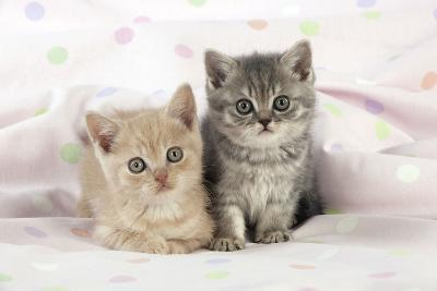 7 Week Old British Shorthair Kittens--Photographic Print
