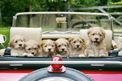 7 Week Old Lhasa Apso Cross Shih Tzu Puppies in Car--Photographic Print