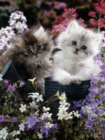 7-Weeks, Gold-Shaded and Silver-Shaded Persian Kittens in Watering Can Surrounded by Flowers-Jane Burton-Photographic Print