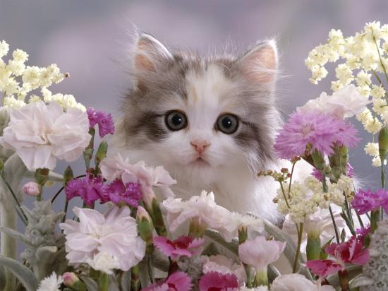8-Week, Silver Tortoiseshell-And-White Kitten, Among Gillyflowers, Carnations and Meadowseed-Jane Burton-Photographic Print