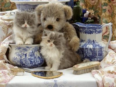 9-Week, Blue Bicolour Persian Kitten, Brindle Teddy Bear and Victorian Staffordshire Wash-Stand Set-Jane Burton-Photographic Print
