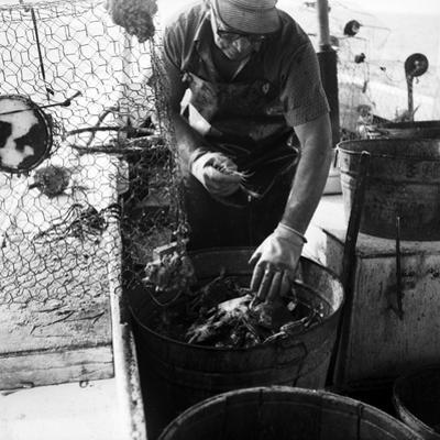 Waterman Transferring Crabs from Crabpot by A. Aubrey Bodine