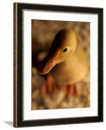 A Baby Bantam Duck is Displayed Near a Warm Lightbulb at the Pennsylvania Farm Show--Framed Photographic Print
