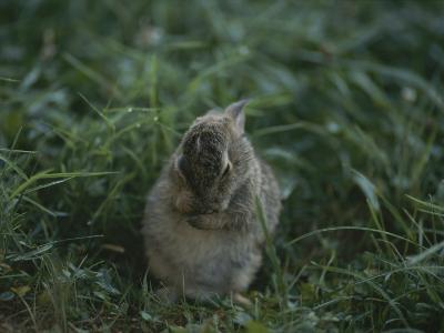 A Baby Cottontail Rabbit Washes its Face-George F^ Mobley-Photographic Print