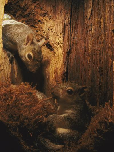 A Baby Eastern Gray Squirrel in its Nest-Chris Johns-Photographic Print