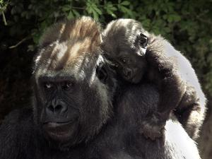 A Baby Gorilla Rests on His Mother Julia's Shoulder