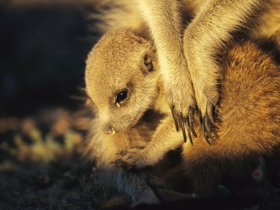 A Baby Meerkat Snuggles up to its Caretaker for Warmth and Safety-Mattias Klum-Photographic Print