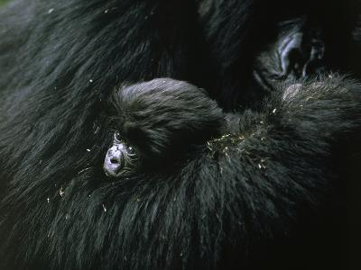 A baby mountain gorilla is cuddled by her mother-Michael Nichols-Photographic Print
