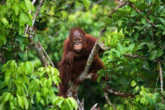 A Baby Orangutan in the Wild. Indonesia. the Island of Kalimantan (Borneo). an Excellent Illustrati-GUDKOV ANDREY-Photographic Print