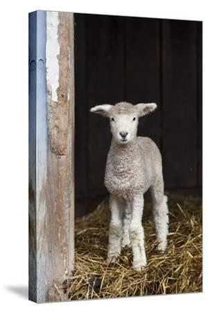 A Baby Romney Lamb Stands in a Barn On Some Hay-Karine Aigner-Stretched Canvas Print