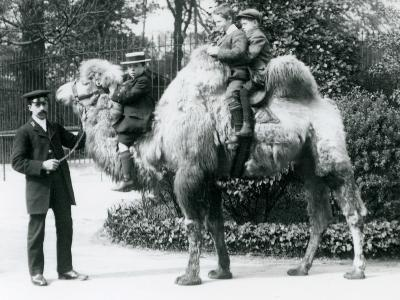 A Bactrian Camel Ride at London Zoo, C.1913-Frederick William Bond-Photographic Print