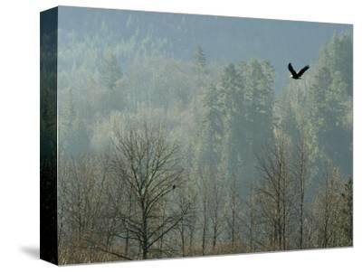 A Bald Eagle Flies Through the Mist High Above the Skagit River