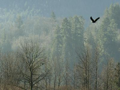 A Bald Eagle Flies Through the Mist High Above the Skagit River--Photographic Print