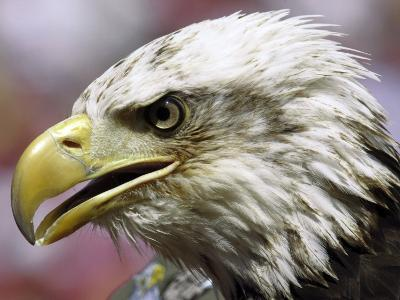 A Bald Eagle from the World Bird Sanctuary Looks on During the Playing of the National Anthem--Photographic Print