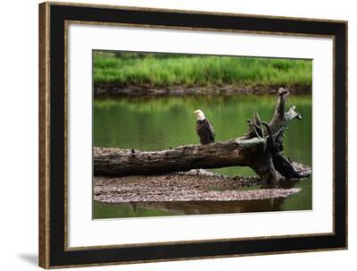 A Bald Eagle, Haliaeetus Leucocephalus, Converses with its Mate, Ingonish River Delta-Darlyne A. Murawski-Framed Photographic Print