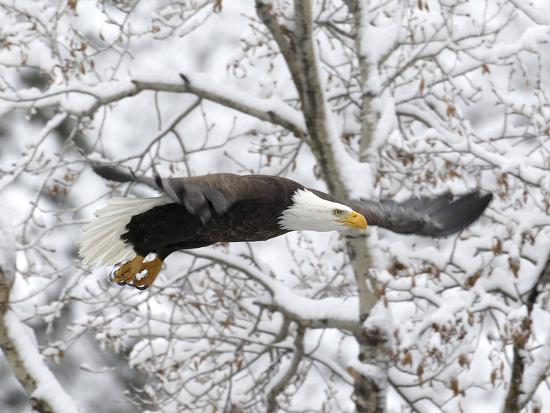 A Bald Eagle, Haliaeetus Leucocephalus, Flying in a Snowy Landscape-Robbie George-Photographic Print