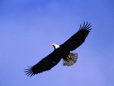 A Bald Eagle (Haliaeetus Leucocephalus) in Flight Near Homer, Alaska, Homer, USA-Mark Newman-Photographic Print