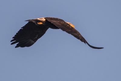 https://imgc.artprintimages.com/img/print/a-bald-eagle-haliaeetus-leucocephalus-in-flight-over-the-occoquan-river_u-l-q12wrma0.jpg?p=0