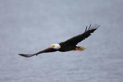 A Bald Eagle, Haliaeetus Leucocephalus, in Flight over Water-Robbie George-Photographic Print