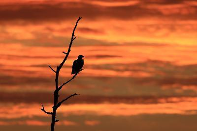 A Bald Eagle, Haliaeetus Leucocephalus, Perched in a Tree at Sunrise-Robbie George-Photographic Print