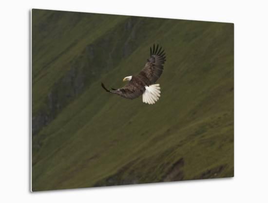 A Bald Eagle, Haliaeetus Leucocephalus, Swooping Down for Hunting Fish-Klaus Nigge-Metal Print