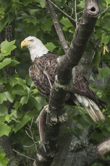 A Bald Eagle, Haliaeetus Leucocephalus, with a Freshly-Caught Fish from the Occoquan River-Kent Kobersteen-Photographic Print