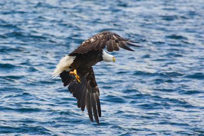 A Bald Eagle, Haliaeetus Leucocephalus, with a Small Caught Fish in its Talons-Darlyne A^ Murawski-Photographic Print
