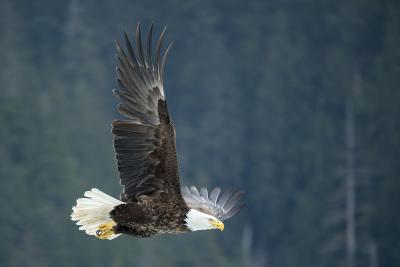 A Bald Eagle in Flight Near Petersburg, Inside Passage, Alaska-Michael Melford-Photographic Print